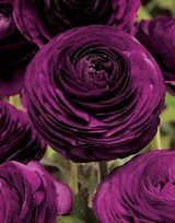 stories/1541/images/ranunculus_purple_big.jpg